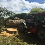 Felled Lime tree
