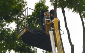 Dismantling acacia trees in Devizes