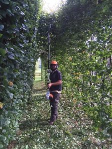 Hedge trimming at Manton, Marlborough