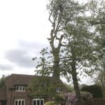 Dismantle Poplar Tree in Urchfont