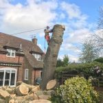 Dismantle large Poplar tree Urchfont