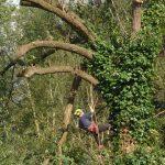 Dismantling Lombardy Poplars in Salisbury
