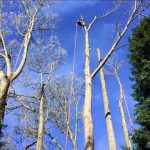 Dismantling 12 Poplar trees at The Hall Estate, Bradford on Avon