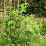 Japanese Knotweed - a very unwelcome visitor