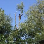 Reduction of overhanging willow on Crown Estate Aug 16.