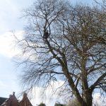 Beech tree limb removal in Lavington