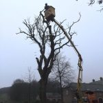 dismantle dead ash tree in Rockely