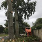 Dismantle failing beech tree in Calne