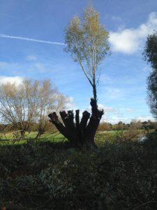 Pollarding willows at Durrigton