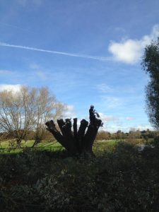 Trevor has been pollarding willows at Durrington for Wiltshire Wildlife Trust so they can use the branches and timber to reinforce the river banks