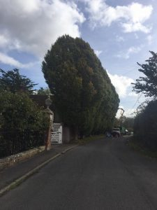 Reduction of hornbeam 'after' shot