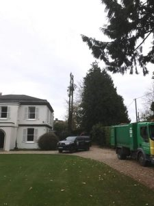 Removal of two large Leyland Cypress trees Easterton Sands