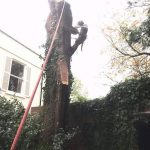 Removal two large trees Easterton Sands Devizes 4 Oct 201