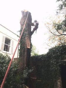 Removal two large Leyland Cypress trees in Easterton Sands Devizes 4 Oct 201