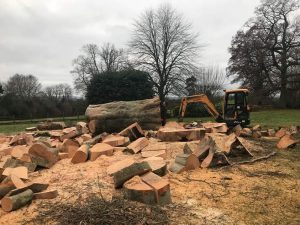 Dismantle Copper Beech Tree following Picus Test