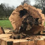 Felled Copper Beech Tree
