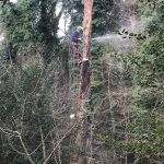 Health and Safety works to trees at Drew's Pond, Devizes Jan 18