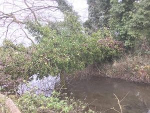 Reduction to some large willows Cirencester Dec 2017