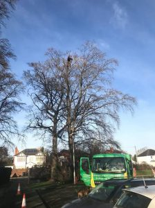 Reduction to TPO beech in Swindon