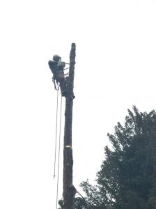 Removal of 60 ft thuja tree in Corsham