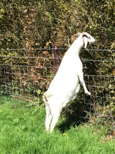 Stock fencing on the edge of the Marlborough Downs with a goat looking over