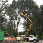 Reduction of a row of poplars in the Waitrose car park Melksham