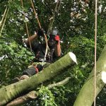 Reduction to beech tree in Marlborough