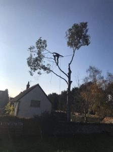 Dismantle 60 foot Eucalyptus trees Rowde Near Devizes