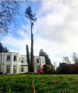 Dismantling a large conifer too close to house, Lavington