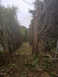 Hedge restoration Keevil
