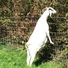 Goat standing at Agricultural Fencing