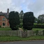 Repair & reduction to a pair of yew trees