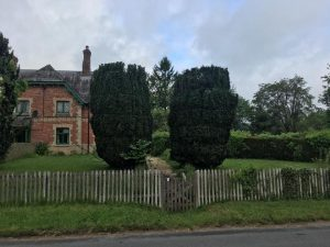 Repair and reduction of a pair of yew trees