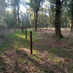 Impressive forest grass regeneration, Savernake Forest