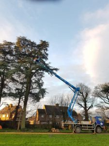 Reducing 10 Cedar trees at Roundway Park, Devizes