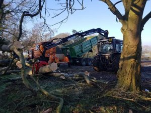 Beech tree take down