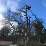 Reduction to roadside Ash tree near Allington