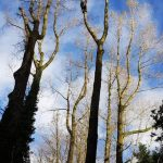 Dismantle a large group of poplars in Calne