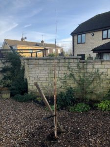 Walnut tree take down