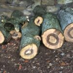 Walnut cut into logs ready for drying