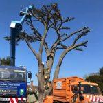 Take down of 100 ft Cedar of Lebanon in Worton